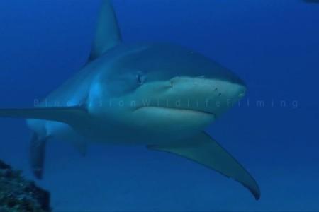 Galapagos shark 1
