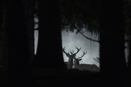 cervo still