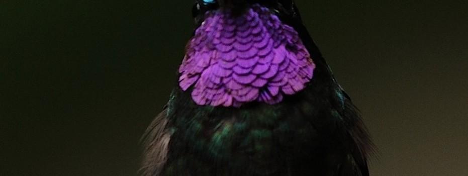 COSTARICA-colibrì2
