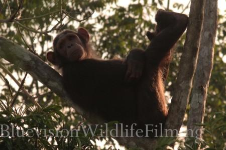 GABON-Scimpanzè